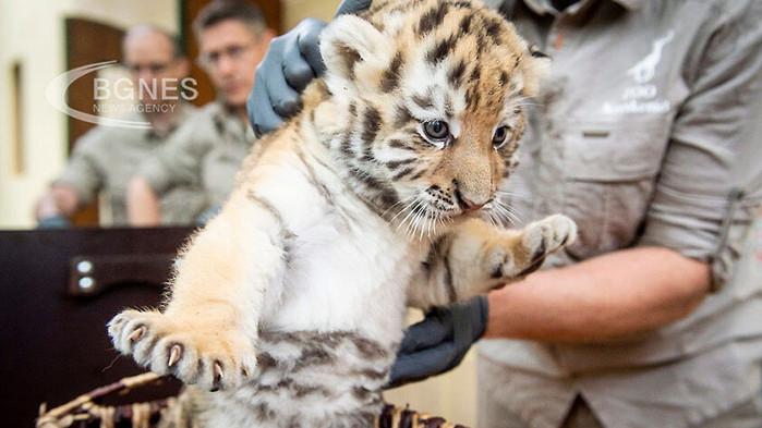 Зоопаркът в Хавана се сдоби с бяло тигърче