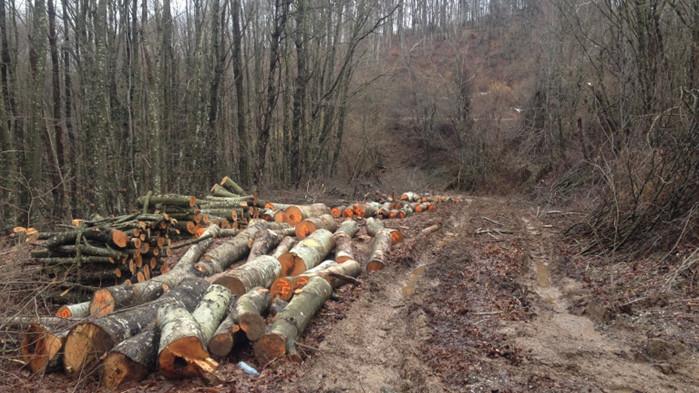 Близо 1000 незаконно отсечени дървета са установили само за седмица