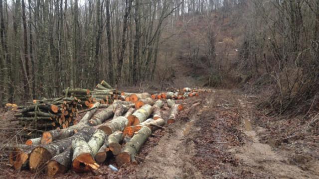 Бум на незаконната сеч - близо 1000 дървета са отсечени за седмица