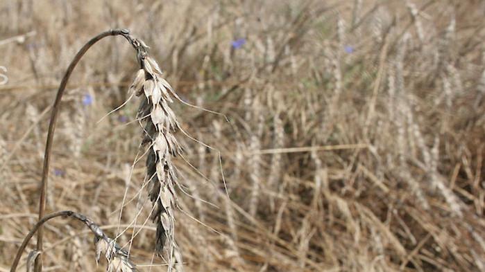 Поройните дъждове провалят реколтата от пшеница, ечемик, слънчоглед и рапица