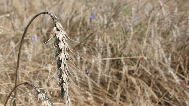 Житната реколта в Русенско е пред провал заради дъждовете