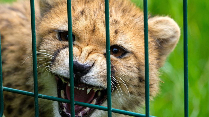 Най-рядката дива котка в света се появи отново след изчезване