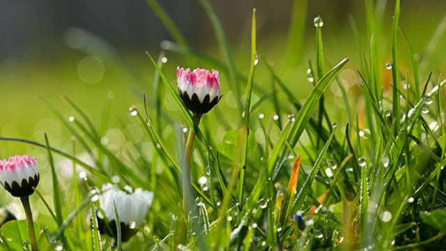 Лечебните свойства на росата
