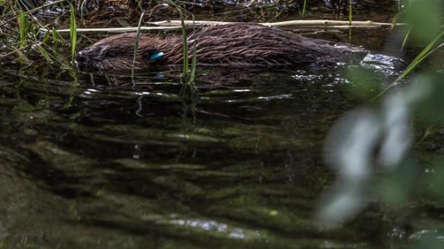 Бобрите имат вина за затоплянето на Аляска