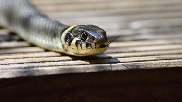 Учени използват змии за измерване на радиацията във Фукушима