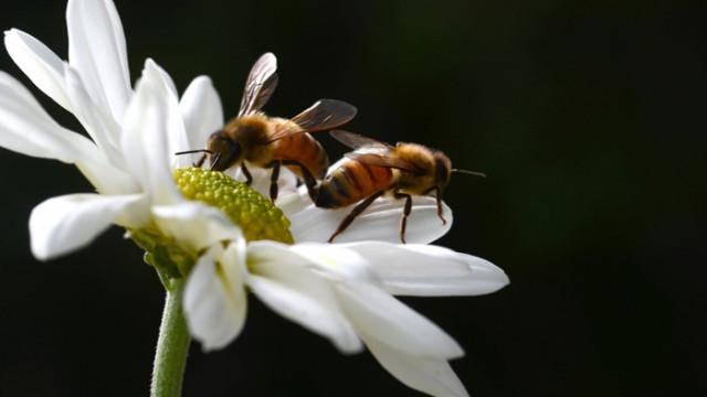 Пчелите не правят секс в жегата