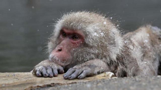 Маймуни, заразени с коронавируса имат краткосрочен имунитет