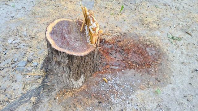 Отрязаха дърво без разрешително и посолиха дънера му (Обновена ) (СНИМКИ+ВИДЕО)