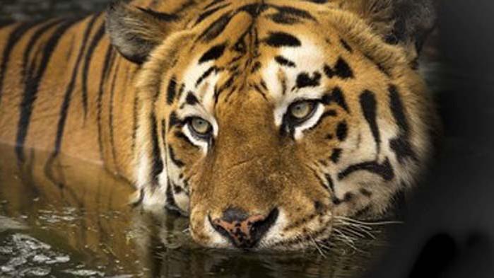 Тигър уби служителка в зоопарка в Цюрих
