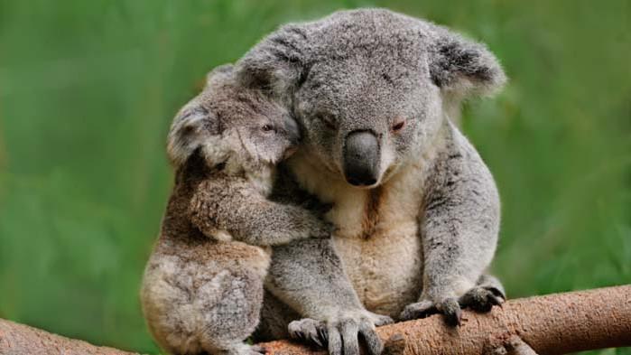Коалите, Австралия и застрашени ли са от изчезване