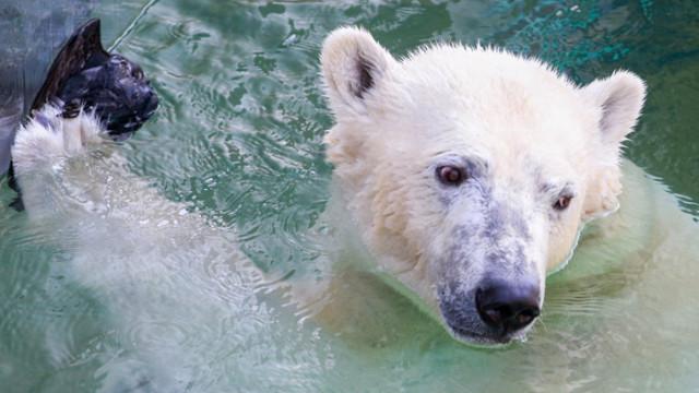 Белите мечки са застрашени от изчезване