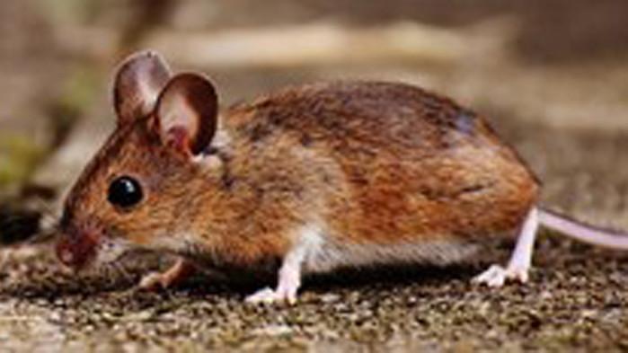 Учени: Мишките са използвали хората, за да покорят света