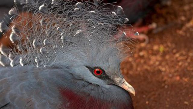 Учени откриха изчезнал вид гигантски гълъб в архипелага Тонга