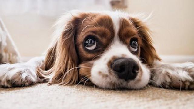 Учени: Кучетата могат да надушват коронавируса