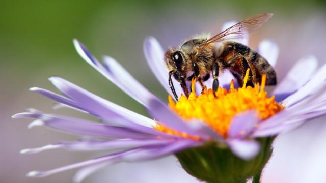 Загубата на пчели причинява недостиг на важни храни