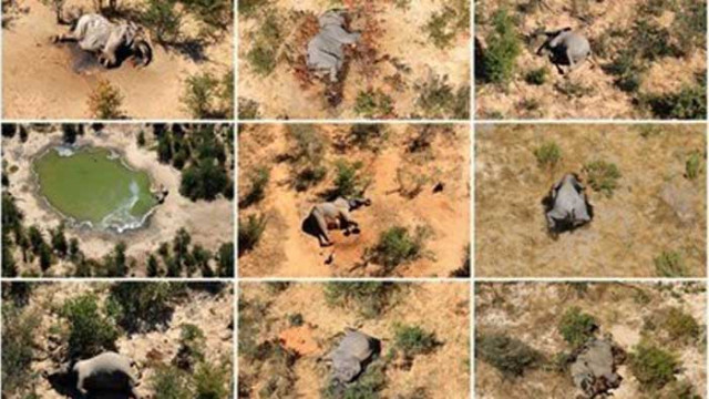 Слоновете в Ботсвана вероятно са измрели от естествени токсини