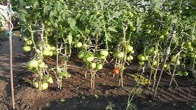 И доматите не случиха на добра година