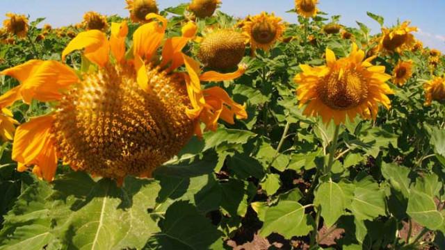 Рекордно ниски ще са добивите на слънчоглед тази година