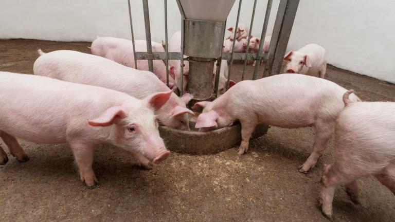 15,6 млн. лева изплатиха на стопани, засегнати от чума по свинете